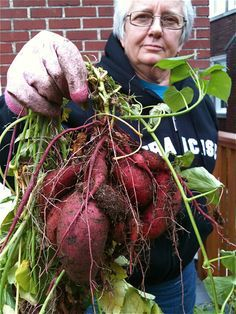 How to grow sweet potatoes - They did it in pots and looks like they got a good harvest from it!