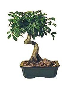 Hawaiian-Umbrella-Bonsai-Tree-Plant-Medium-Coiled-Trunk-Style-Arboricola