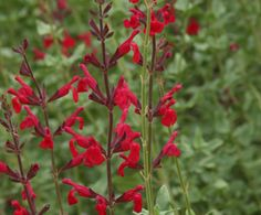 We Love Royal Red Salvia on http://www.hortmag.com
