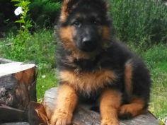 GSD Puppy-Tina