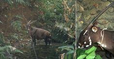 """Descoberta em 1992, a Saola (""""Pseudoryx nghetinhensis"""") já corre risco de extinção devido à caça ilegal no Laos"""
