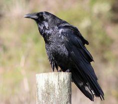 Common_raven_by_David_Hofmann.jpg (1789×1571)