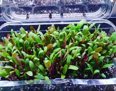 """""""These #SmoothieMix #microgreens are amazing! This is a tray one week after seeding. #growyourown #vegatables #organicsalivecommunity #botanicalinterests #seedlings #organicinputs #plantbasedfoods #plantbased #Beets #SwissChard #BabySpinach #RomaineLettuce"""" - happyleaffarms33 (Instagram)"""