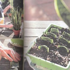Thrifty Gardener: How To Propagate A Snake Plant