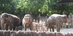 We love families no matter the type or size! Summer news from the Fort Worth Zoo brought this family of elephants to our #58DayCountdown with 3 days. With the birth of Bowie on 8/5, the FW Zoo celebrated the 3rd elephant born to them. 15 YO Bluebonnet was born 12/16/98 to Rasha, & Blubonnet is mom to Bowie. Rasha is also mom to Belle, born 7/7. Just as our families find strength in being together so do the 3 generations of elephants at the FW Zoo with the dedicated keepers who watch over… Fort Worth Zoo, Blue Bonnets, Bowie, Elephants, Birth, Stuff To Do, Families, This Is Us, Strength