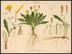 Taraxacum officinale - the dandelion