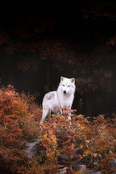 Wolf by Dustin Abbott
