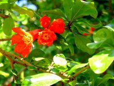 Pomegranate Blossoms l Yael Alon