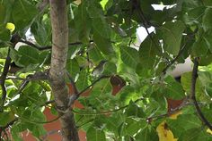 Foto juruviara (Vireo chivi) por Evaldo Nascimento | Wiki Aves - A Enciclopédia das Aves do Brasil