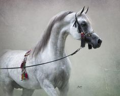Lawrence El Gazal (AU) 17.6.2008 Grey Arabian stallion. Gazal Al Shaqab {Anaza El Farid x Kajora by Kaborr} x Lara El Ludjin {Ludjin El Jamaal x Lilyh El Jamaal by Ali Jamaal} Owned and bred by La Movida Arabians, Austria.