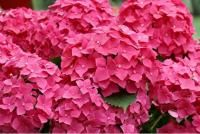 Pretty and bright pink hydrangea flowers pictures.JPG
