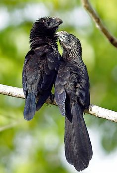 Smooth-billed Ani (Crotophaga ani) - Florida, Bahamas, Caribbean, parts of C. Bird Gif, All Birds, Road Runner, Colorful Birds, Bird Species, Bird Feathers, Beautiful Birds, Blue Bird, Animal Kingdom