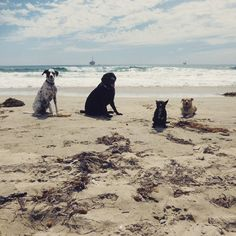 Beach training Thursday's with trainer Jeff. This is one of our advanced groups. Zeppelin, Herman , Tootsie & Rooney #beachtrainingthursdays #dogtraining #Dogfitness #fitdogs #huntingtondogbeach #dogbeach
