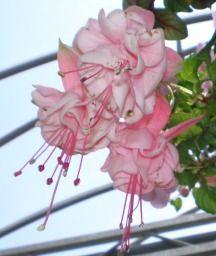 Dianes Decorating Diary: Gumpaste Fuchsia Tutorial - Part 1