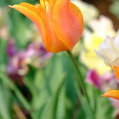 Farm gardens of #mossmountainfarm #joy #jobesorganics #vanbloem #pallensharethebounty #tulips