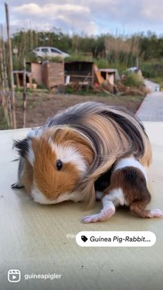 Cute Little Animals, Cute Funny Animals, Funny Cute, Baby Guinea Pigs, Guinea Pig Care, Baby Animals Pictures, Cute Animal Pictures, Cute Memes, Animal Crafts