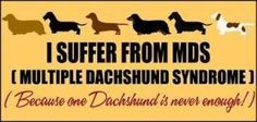 I suffer from MDS (Multiple Dachshund Syndrome) because one dachshund is never enough!