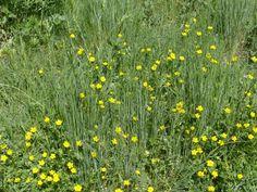Yellow buttercups / Credit: communicationxdevelopment.wordpress.com