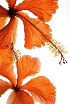 Falling Hibiscus 木槿 芙蓉花