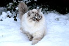 Cute Puppies And Kittens, Cats And Kittens, Cute Cats, Pretty Cats, Beautiful Cats, Crazy Cat Lady, Crazy Cats, Animals And Pets, Cute Animals