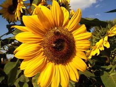 Detail of sunflower with bees. Download for FREE on freephotodb.