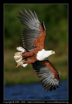 Fish Eagle: Photo by Photographer Vadim Onishchenko