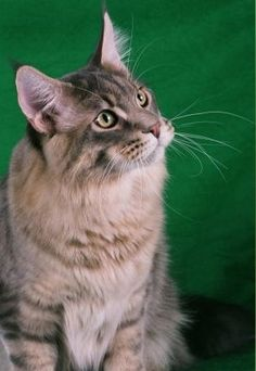 Trout - Maine Coon