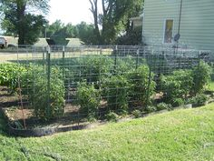 Frugal Heavy Duty Tomato Cages using wire cattle panels... (looks easy, strong, not the round type, rectangle, supports 3-4 plants or long rows... Deb)