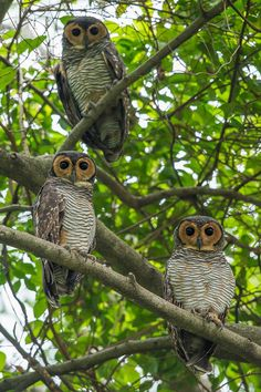 3 is my lucky number. Spotted Wood Owls standing close to each other. Taken in…