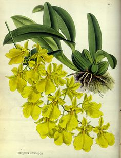 The Single-colored Oncidium (Oncidium concolor). Flowers are consistently chartreuse in color. An epiphytic orchid (often living on tree ferns) native from Brazil to northern Argentina. The orchid album,  Warner, R., Williams, B.S., vol. 1882: t. 1 (1882)