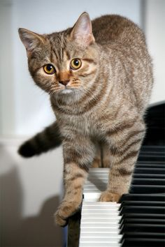 """"""" Musical Cat """" Naughty but sweet kitty on the piano."""