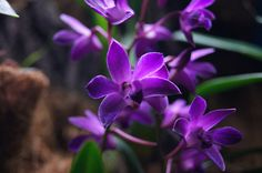 Dendrobium Berry 'Oda' by Sistercja, via Flickr  cooler loving