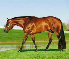 AQHA quarter horse stallion, Keeping It Good. All The Pretty Horses, Beautiful Horses, Animals Beautiful, Horses And Dogs, Show Horses, American Quarter Horse, Quarter Horses, Western Pleasure Horses, Western Riding