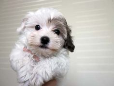 Havanese Puppies Utah-Havanese Puppies For Sale-Past Havanese ...