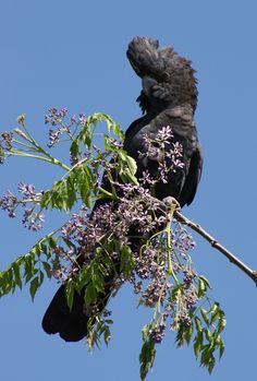 A male Red-tailed Black-Cockatoo.