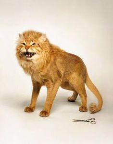 The lion cut resembles that of a lion - its shaggy main, shaved feet and tail. The cut is made by shaving the fur close to the cat's skin, but leaving the mane, face and the tip of the tail unshaven. Cat Lion Cut, Cut Cat, Animals And Pets, Cute Animals, Cat Skin, Cat With Blue Eyes, Cat Grooming, Just Smile, Shaggy