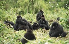 Central African Republic Gorillas | Mountain gorillas live in communities of up to 30 individuals.