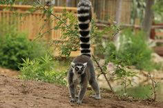 Look who is back out on the island! Our ring-tailed lemurs have returned to their home near the Nganda Village. Catch a glimpse of them in the trees, or out exploring the island from the boat ride or the Village!