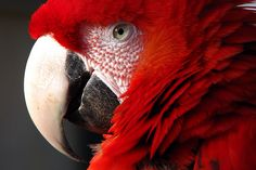 red parrot. My vampire pirate's parrot. Red, what an appropriate color.