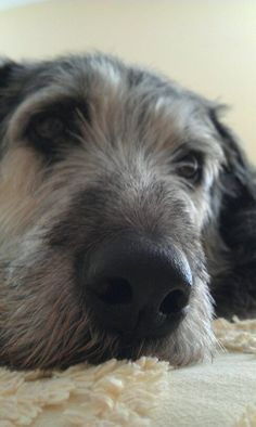 Irish Wolfhounds make the best pets.  They also make true and trustworthy companions.