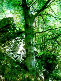 Verde Eden - il Giovane Faggio - The Young Beech