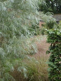Salix exigua (Coyote Willow), via Flickr.