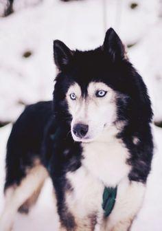 Siberian Husky Dogs My weakness Siberian Husky Dog, Husky Puppy, Wolf Husky, Animals And Pets, Baby Animals, Cute Animals, Beautiful Dogs, Animals Beautiful, Husky Mignon