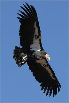 California Condor in flight.
