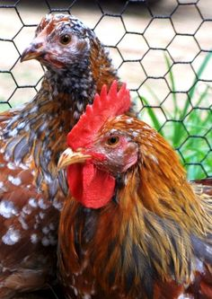 Swedish Flower Hens & Rooster, Greenfire Farms.