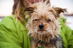 that look says it all; Yorkie; Yorkshire terrier