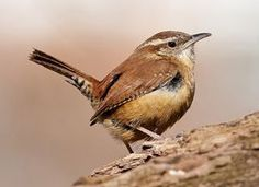 Carolina Wren - Tail up when singing, tail down when rumaging through the leaves. Image courtesy of www.allaboutbirds.org/guide. Photo by Kevin Shea