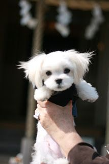 Is there anything cuter than a Maltese baby? Cute Puppies, Cute Dogs, Dogs And Puppies, Doggies, Maltese Dogs, Teacup Maltese, Dog Rules, Dog Hacks, Dog Coats