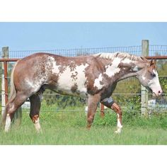 IMA ULTIMATE MACHINE - (CR Good Machine x Ima Zippo Waterlily) 2010 sorrel/roan overo APHA stallion. #APHA #PaintHorse All The Pretty Horses, Beautiful Horses, Quarter Horses For Sale, Horse Markings, Horse Riding Quotes, American Paint Horse, Western Pleasure, Appaloosa Horses, Cute Horses