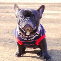 'Old Guy, Old Skool', a handsome Senior French Bulldog.